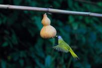 大鹏展翅的凤头雀嘴鹎