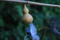 大鹏展翅的丽色奇鹛