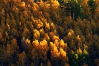 松树金色的树梢