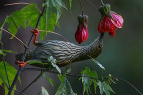 吸食花蜜的纹背捕蛛鸟