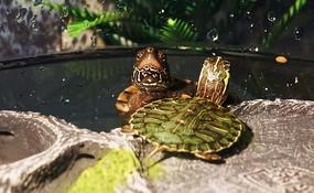 水中探出头的中华草龟和巴西龟