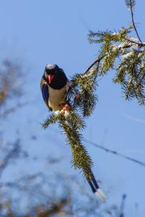 枝头上的红嘴蓝鹊