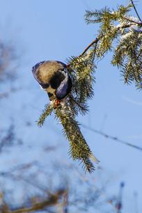 枝头上低头的红嘴蓝鹊