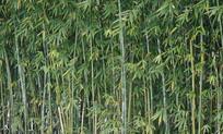 翠绿的竹子背景