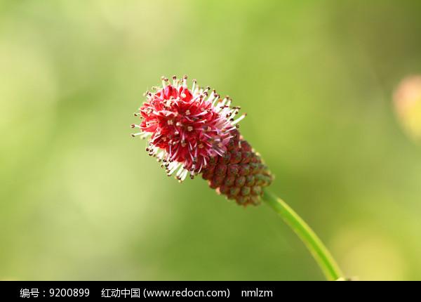 垂穗粉花地榆 图片
