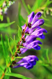 大兴安岭野生植物黄芩