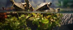 虎耳草上的四只巴西龟