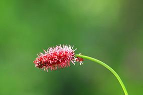 野生花卉-垂穗粉花地榆