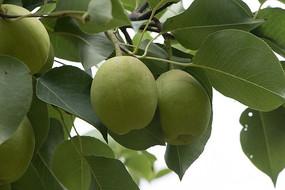 成熟的香梨
