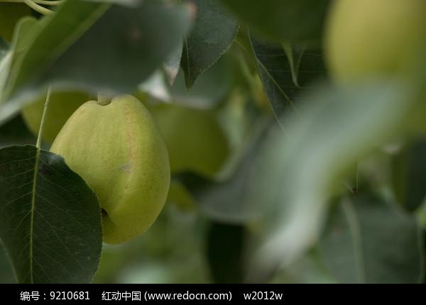 畸形的香梨图片