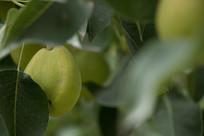 畸形的香梨