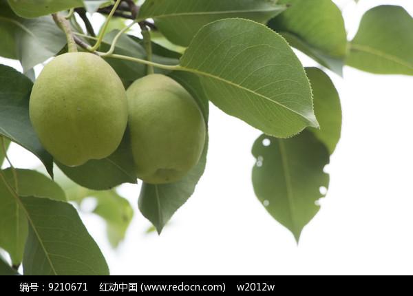 树上的两个香梨图片