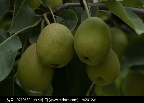 四个成熟香梨图片