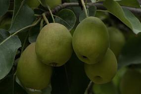 四个成熟香梨