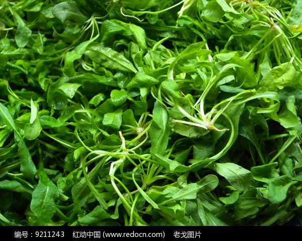 小菠菜图片