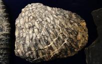 丛管珊瑚 化石