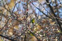 花中欲飞的灰腹绣眼鸟