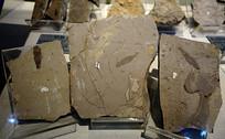 三尾拟蜉蝣化石