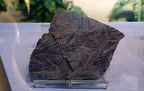苏铁杉(未定种) 化石