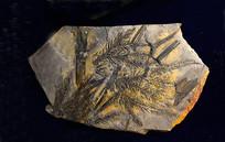 瓦契杉化石