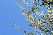 梨花笔直向着天空