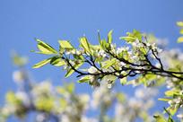 阳光照在梨花上