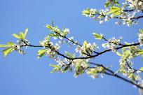 阳光照在梨花上特写