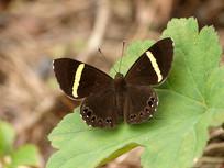 黄带褐蚬蝶