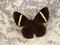 黄带褐蚬蝶特写