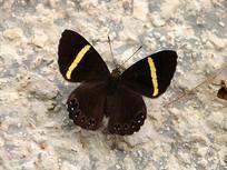 美丽的黄带褐蚬蝶
