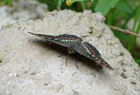 一只锦瑟蛱蝶
