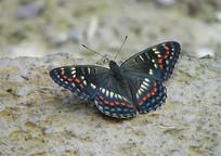 一只美丽的锦瑟蛱蝶