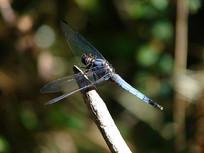 一只蓝色蜻蜓