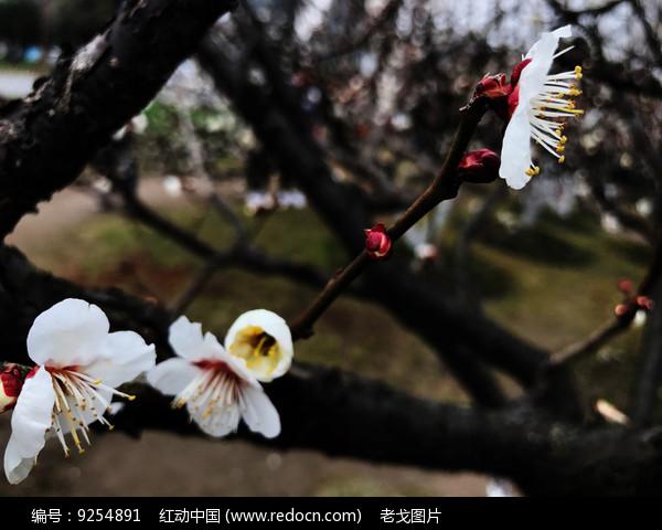 娇艳梅花图片
