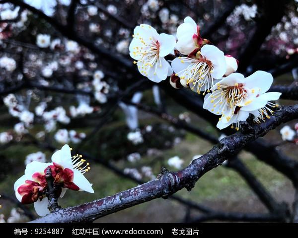 梅花盛开图片
