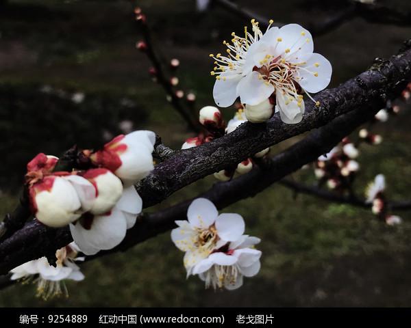 梅花绽放图片