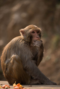 吃橘子的猴子