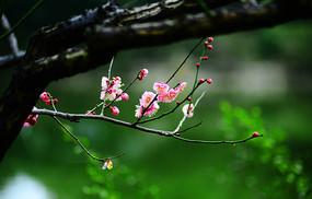 独步早春的高清红梅
