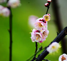 高清晰花蕊的红梅