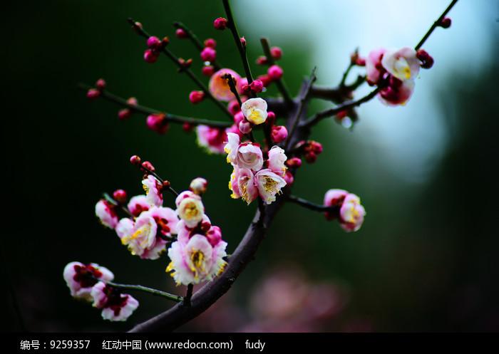 含苞待放的高清红梅图片