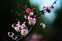 含苞待放的高清红梅