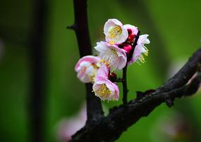 吐蕊含丝的高清红梅