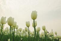 唯美白色郁金香花丛