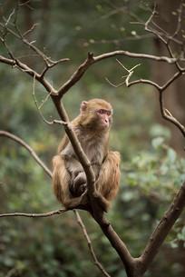 在树梢的猴子