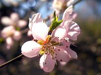 娇美的桃花高清素材