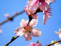 娇美的桃花摄影素材