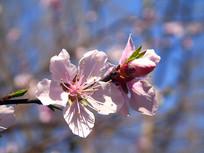 娇美的桃花素材