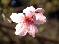 娇艳的桃花摄影素材
