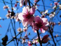 美丽的桃花摄影