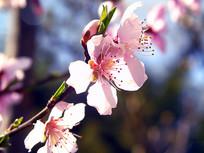 美丽的桃花素材